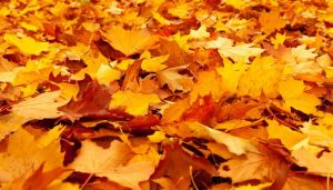 16 Interesting Facts About Maple