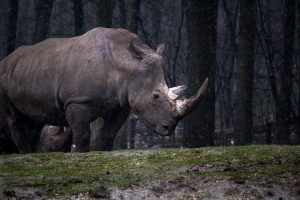 35 interesting facts about rhinos