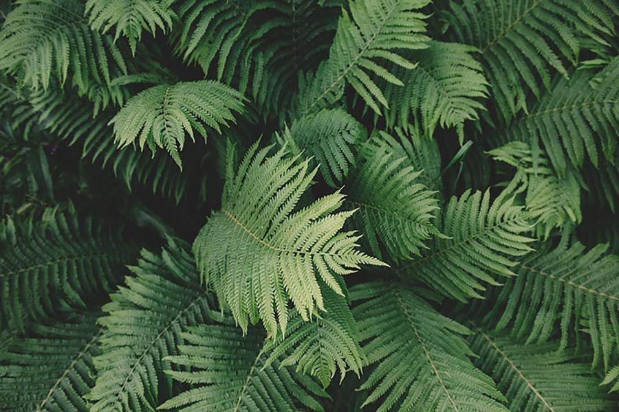 Facts about ferns