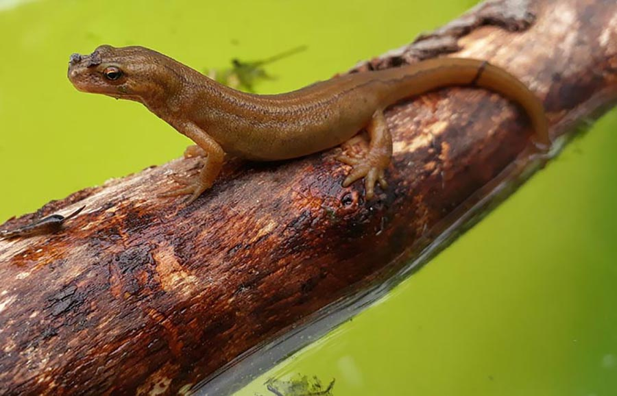 Facts about newts