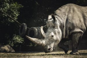 Facts about rhinos